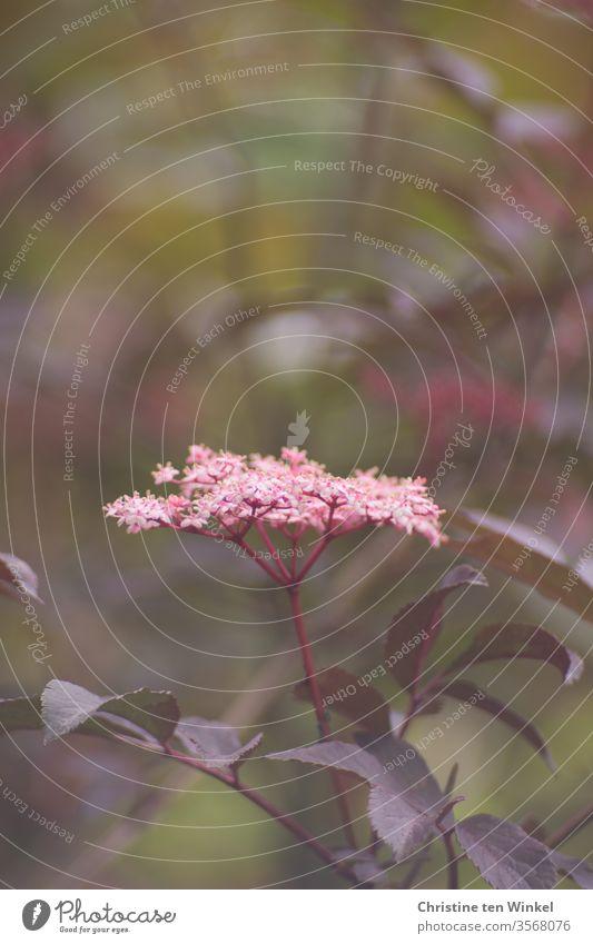 Pink flower of the black elderberry / Sambucus nigra with shallow depth of field bleed Elderflower Nature shrub Plant foliage fragrant green red foliage