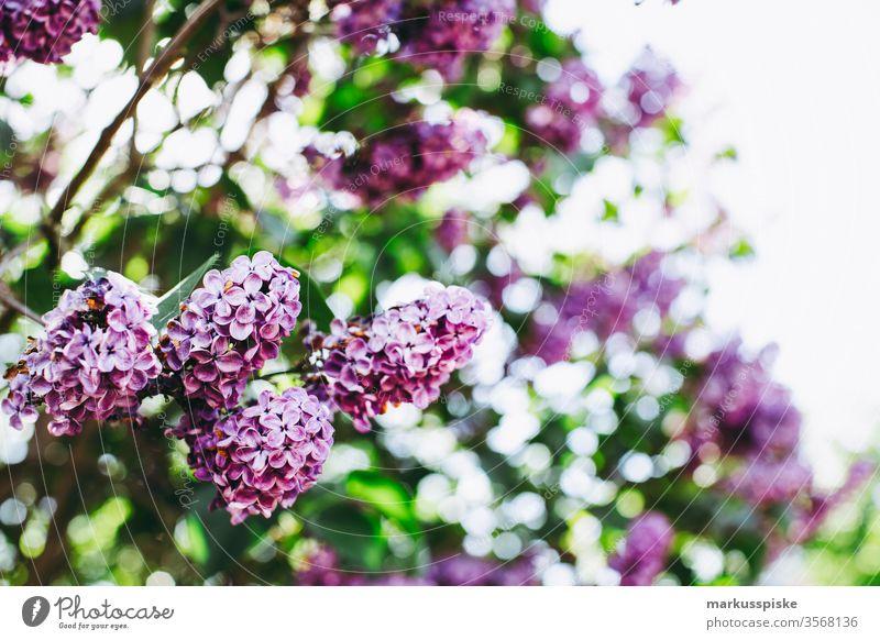 Fresh lilac bush with bokeh Lilac lilac blossom Summer Fragrance purple shrub