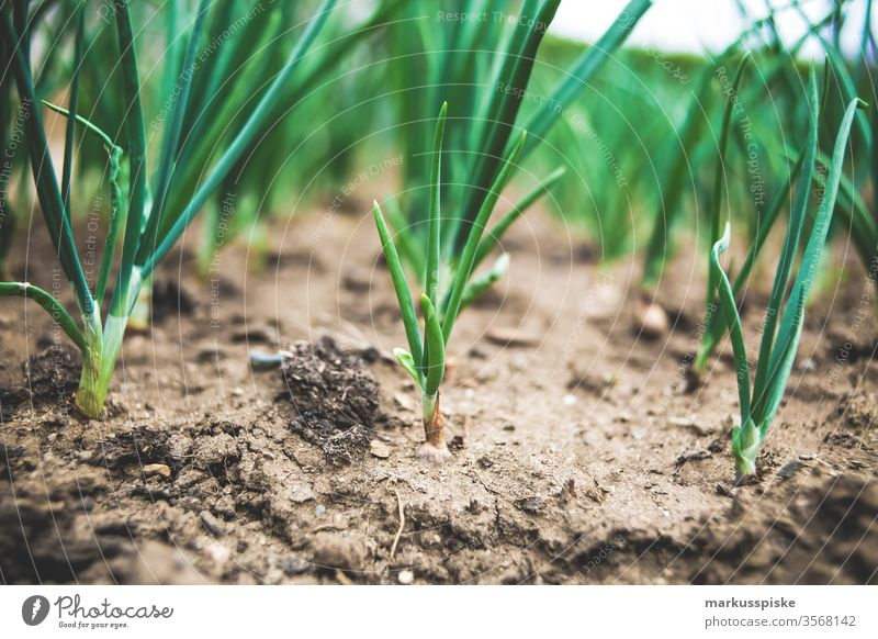 Organic spring onions Spring onions Garden Vegetable self-sufficiency Garden Bed (Horticulture) Leek vegetable organic