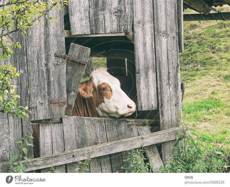 Cow looking out the window - A brown piebald cow looks out of the window of a dilapidated stable on a pasture. chill Dairy cow Cattle cattle Cattle breeding