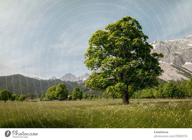 An old tree grows on the flower meadow, the mountains in the background know it Chestnut Oak tree beeches Plant Meadow Flower meadow herbs Alps Snow Mountain