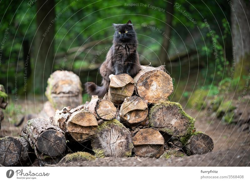 fluffy black longhaired cat sitting on a pile of tree trunks in the forest Cat pets mixed breed cat Outdoors Nature Longhaired cat Black cat One animal green