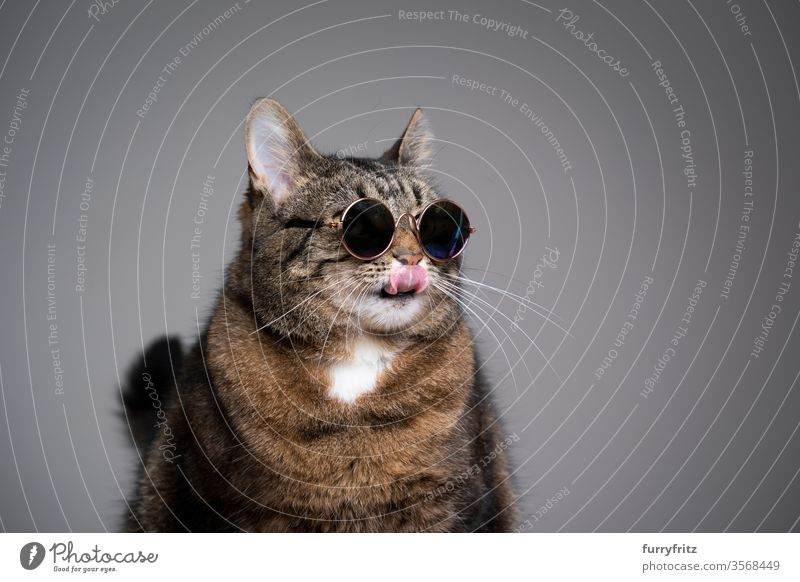 Studio portrait of an overweight cat wearing sunglasses and licking his lips Cat pets tabby shorthaired cat Studio shot Copy Space feline Pelt Funny Sunglasses