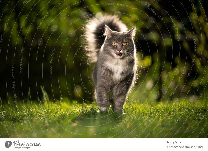 Maine Coon cat with fluffy tail in sunlight outside on the lawn Cat pets purebred cat Longhaired cat maine coon cat White blue blotched sunny Sunlight Summer