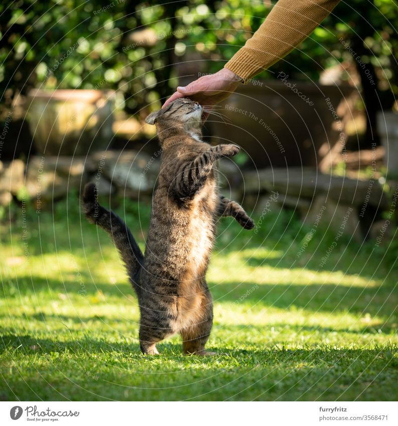 Pet owner stroking tabby cats outside in the garden Cat pets Garden Front or backyard Grass Nature plants feline Pelt Lawn green rebel hindquartered Caress Head