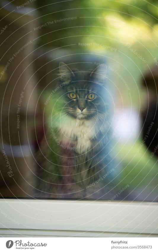 maine coon cat inside with view out the window Cat pets purebred cat Longhaired cat White blue blotched Window look out the window feline Pelt Fluffy green