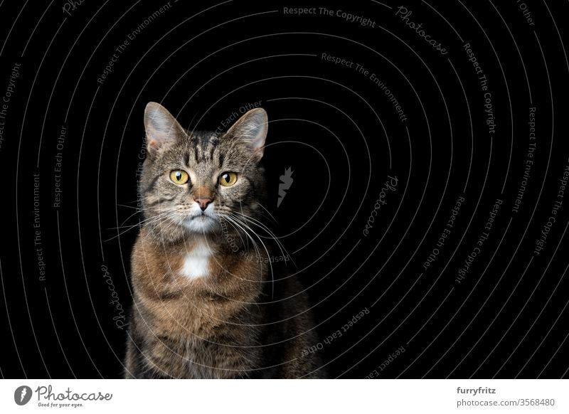 Mottled shorthair cat on black background Cat pets tabby shorthaired cat Studio shot Isolated Copy Space feline Pelt portrait look into the camera One animal