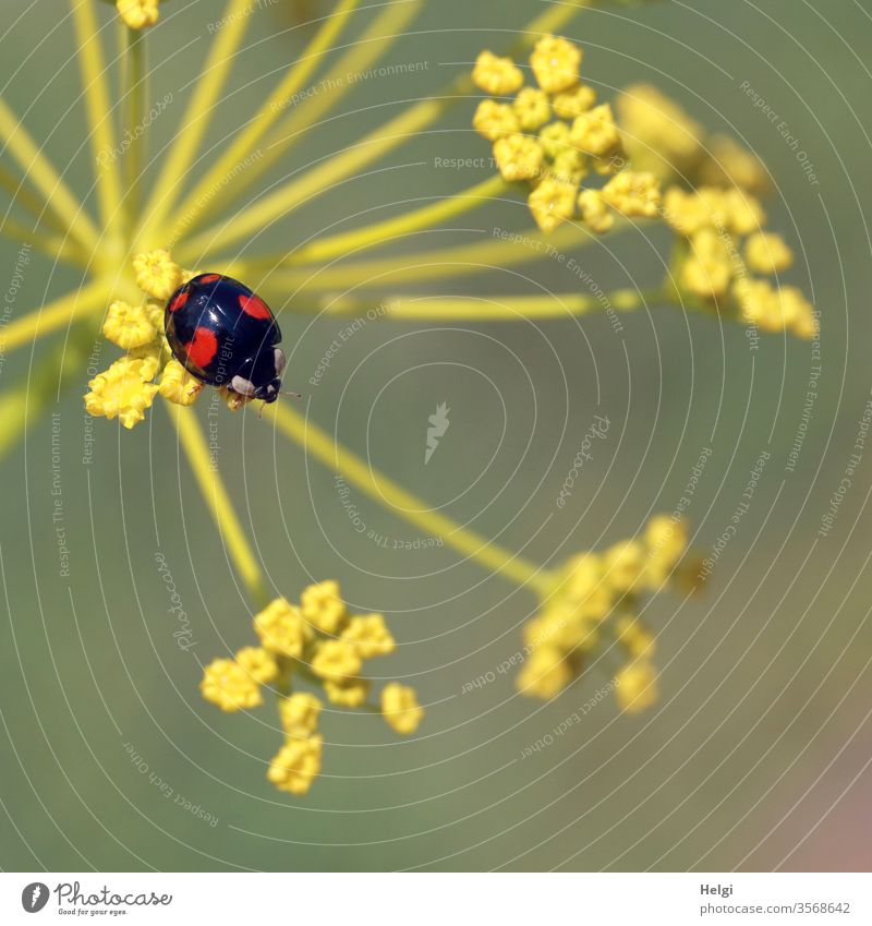 Asian black and red ladybird sitting on a fennel blossom Ladybird Asian ladybird Small Beetle Insect Macro (Extreme close-up) Close-up Animal Crawl