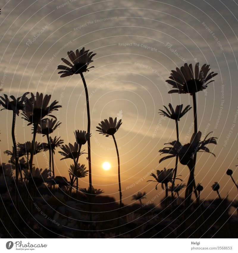 Margarites against the light of the evening sun Margarite Field flowers bleed Evening sun Sunset Back-light Sky Clouds Sunlight Worm's-eye view Deserted Light