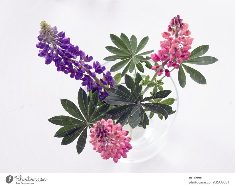 lupins bleed Plant Bud Flowering plant Summer spring purple pink green Nature flowers Colour photo Close-up Blossoming already Pink Growth Spring fever Esthetic