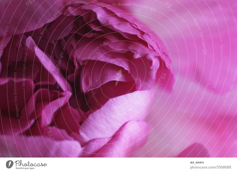 peony Peony pink Blossoming bleed flowers Plant Pink spring Nature Colour photo already Close-up Deserted Summer Detail Blossom leave Shallow depth of field
