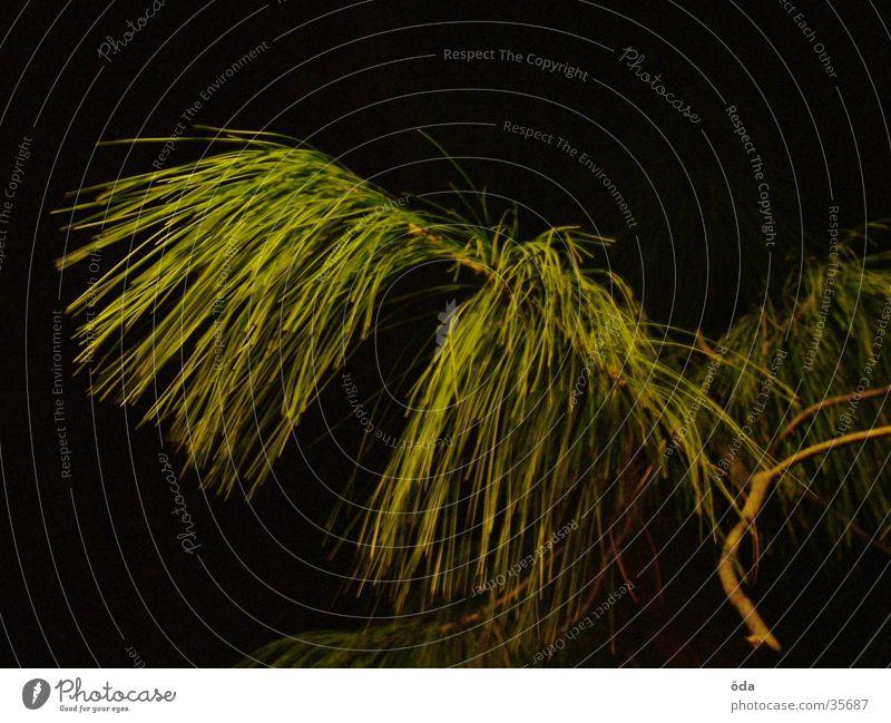 Tree Green Growth Branch Twig Coniferous trees Fir needle