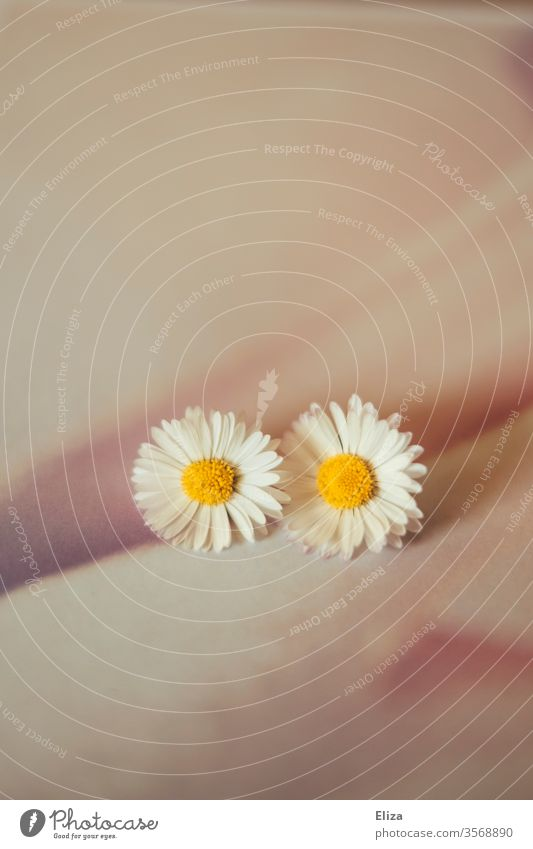 two daisies on a pale pink background Daisy Pink Couple In pairs Artistic Delicate Smooth 2 flowers bleed Together already spring Summer Blossoming tawdry