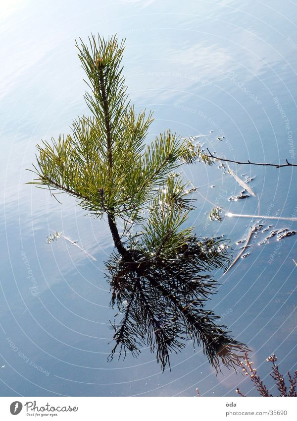 water tree Tree Coniferous trees Lake Pond Sprout Growth Water Shoot Fir needle