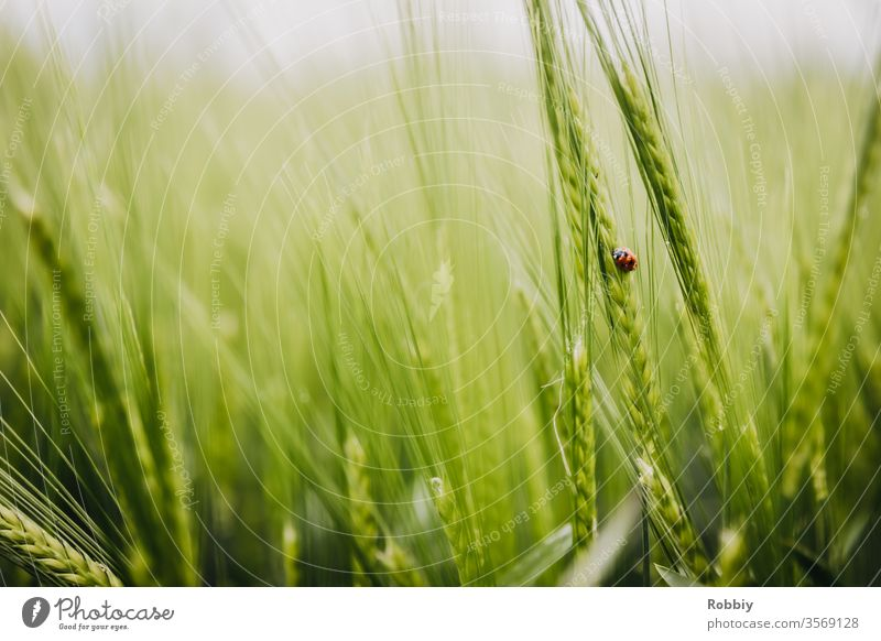 Ladybird in a cornfield Nature Grain field biodiversity nature conservation Agriculture Insect repellent die of insects Beetle Environment