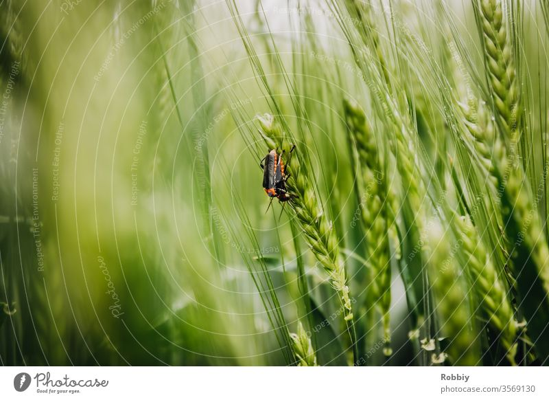 Soldier beetle in a cornfield Nature Grain field biodiversity nature conservation Agriculture Insect repellent die of insects Beetle Environment
