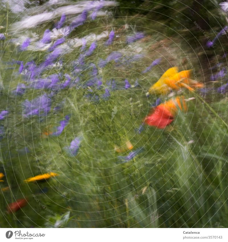 The meadow flowers sway back and forth in the fierce wind flora Plant Meadow flower Flower meadow Poppy Linen Margaret bleed fragrances blossom Garden Summer