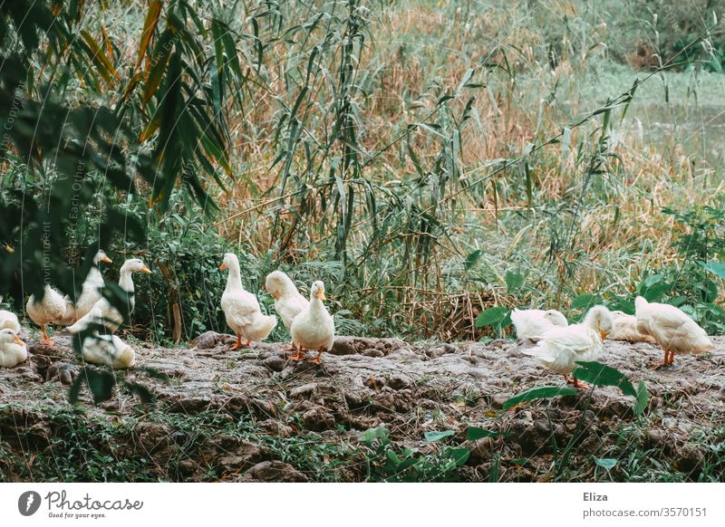 A group of geese out in the wild Nature Animal birds Wild animal Feather Goose Free reed Wild goose