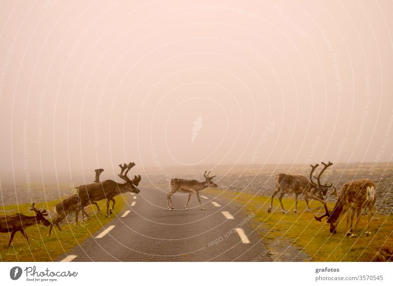 Reindeer-Walk across the road in Scandinavia Vacation & Travel Animal Exterior shot Deserted Day Animal portrait Lifestyle Adventure Trip Tourism Style Funny