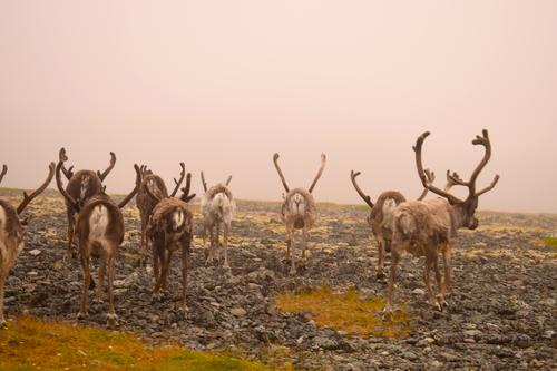 Reindeer Po's in Scandinavia Vacation & Travel Animal Exterior shot Deserted Day Animal portrait Lifestyle Adventure Trip Tourism Style Funny Curiosity