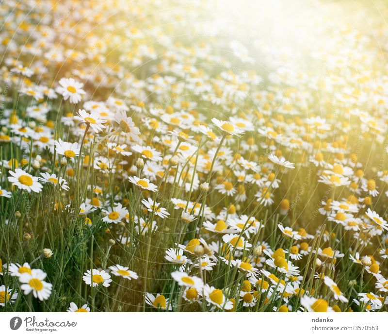 large field with white blooming daisies on a spring day, selective focus light beautiful beauty blossom botany bright bud camomile chamomile color daisy floral