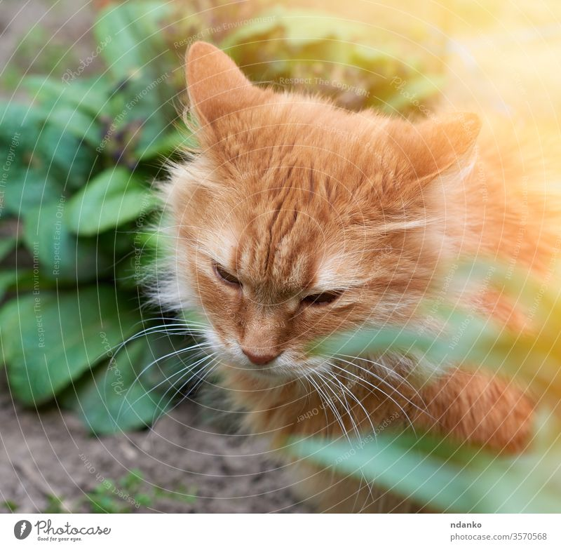 adult red cat sitting on the street, head down adorable animal beautiful big breed brown closeup curious cute domestic face feline fluffy funny fur furry ginger
