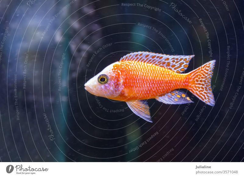 one red fish swimming aquarium freshwater horizontal life nature tank tropical underwater wildlife animal aquatic aulonocara chichlidae turquoise decorative