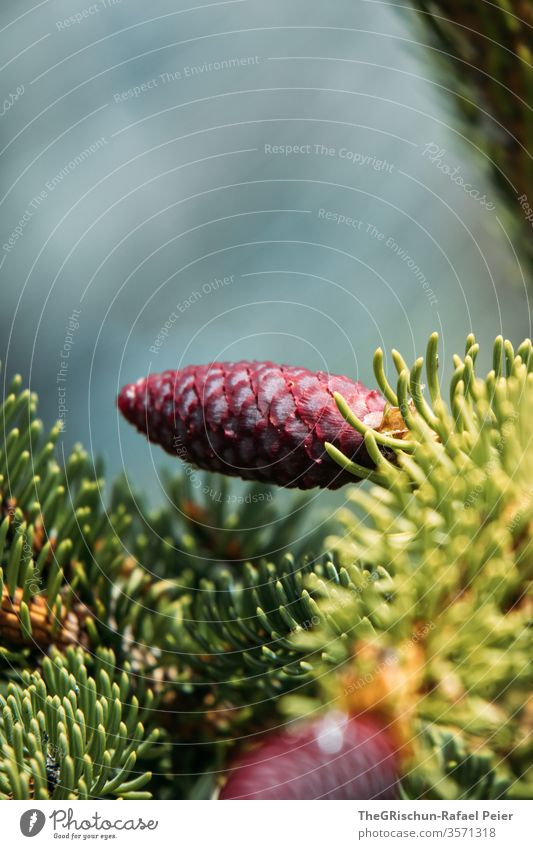 Young red fir cone Fir cone Nature Colour photo Cone Exterior shot Forest Deserted Plant Red Small Coniferous trees