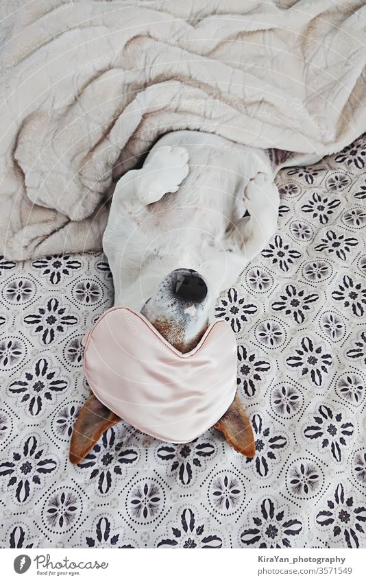 Sleepy dog lies in blanket with eyemask on bed above view adorable adult animal baby bedroom brown and white canine closeup cold cozy cute domestic dreaming