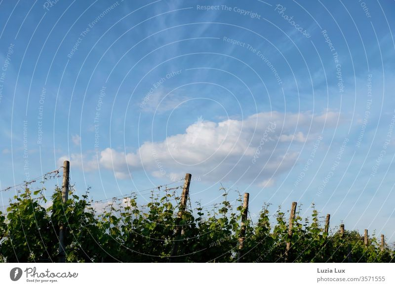 Vineyards under a blue sky and spring clouds vines Blue Sky Clouds White obliquely green Nature Landscape Plant Deserted Growth Exterior shot Colour photo