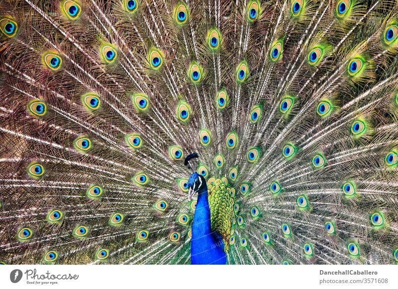 Haute couture | Feather dress Peacock birds Peacock feather Pride Animal Esthetic Rutting season Animal portrait already Blue peacock butterfly Multicoloured
