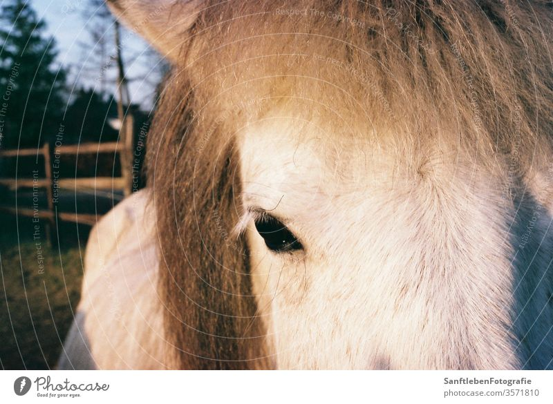 Weisses Pferd Horse Animal Eyes White Colour photo Animal portrait Nature Looking into the camera Animal face