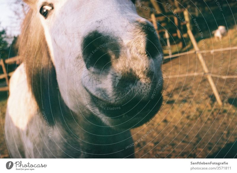 Pferdeschnauze Horse's head Animal portrait Nature Farm animal Exterior shot Iceland Pony Colour photo