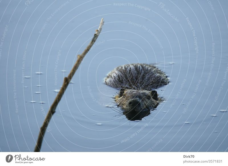 Nutria with draft nutria rodent Rodent water rat Rat Water Pond Lake Branch Twig lurking look Observe be afloat Aquatic animal Mammal mammals Environment