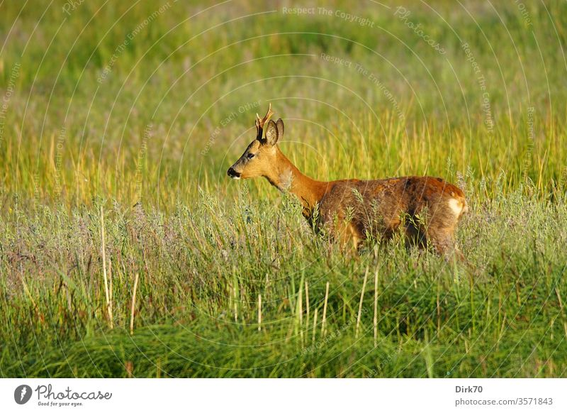 roebuck in profile Roe deer reindeer buck Mammal Wild animal Nature Environment Environmental protection Meadow Grass Grassland Willow tree Profile Profile view