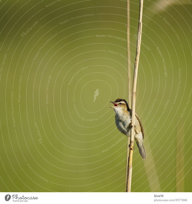 Reed Warbler, singing, on the reed that gives its name birds songbird Leaf-warblers Common Reed reed stalk Climbing climbing Singing Nature spring
