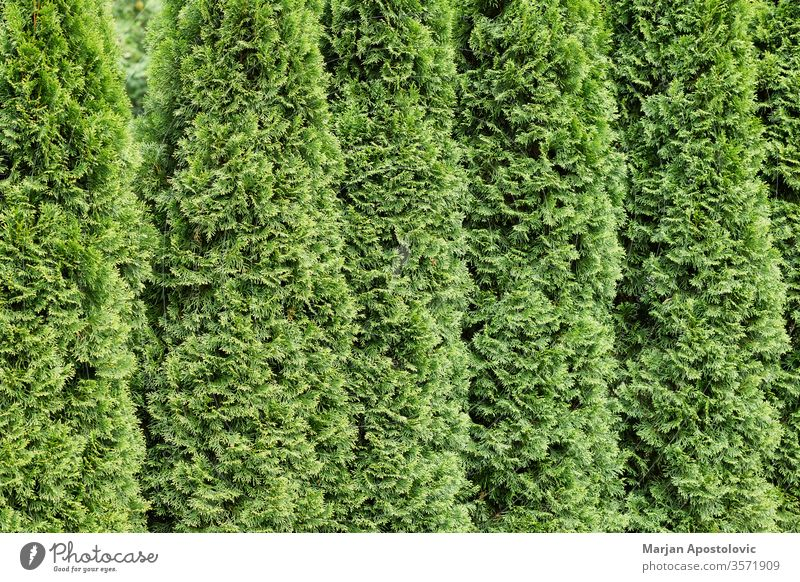 Beautiful green cypresses in a row abstract background backgrounds backyard botanical botany branch bush closeup decoration decorative design environment