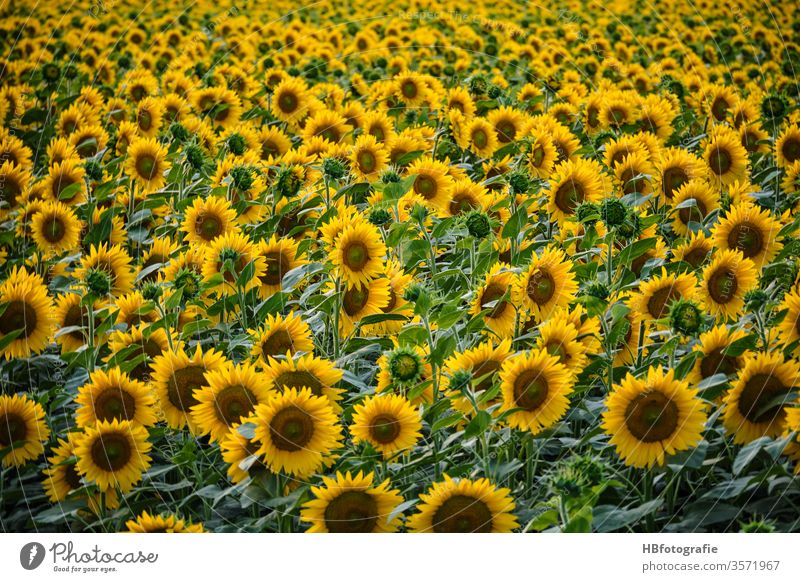 sunflower field Sunflower field Sunflowers sunflower blossom Summer solar power bleed Yellow Plant Agricultural crop Blossoming Field Landscape Colour photo