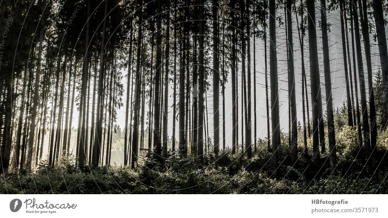 coniferous forest Forest huts spruces Forestry Back-light tree Nature Exterior shot Deserted Landscape Environment Colour photo Day Plant green Light wood