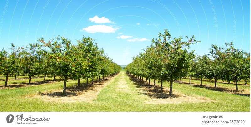 Beautiful nature scene with cherry tree. Plantation of cherry trees in spring. Orchard in spring. Field cherry tree orchard on a sunny day in May after blossoming with cloudscape.