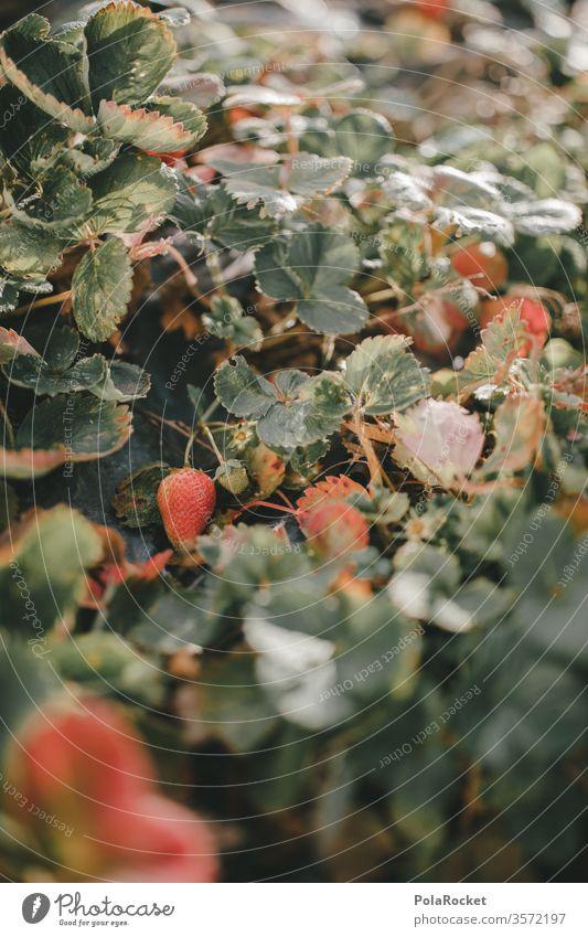 #As# strawberry plants Strawberry Strawberry ice cream Strawberry jam strawberry field Strawberry yoghurt Strawberry blossom Harvest ready for harvesting Mature