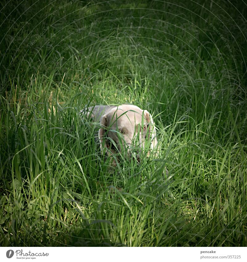AST6 Inntal Tia? Nature Earth Summer Grass Garden Animal Dog Animal face 1 Sign Happiness Secrecy Love of animals Peaceful Weimaraner Hide Playing Search Eyes
