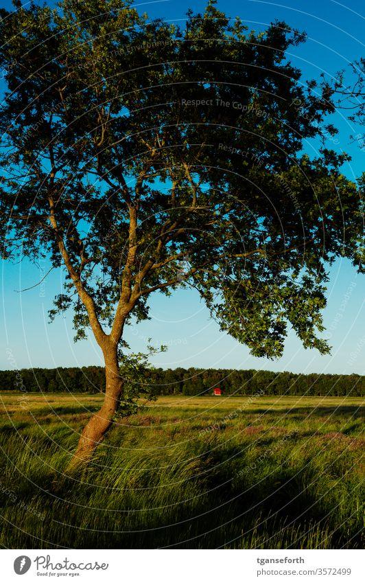 Evening atmosphere in Emsland Oak tree Plant Colour photo Deserted green evening mood Evening sun golden hour Exterior shot Landscape Meadow Sunset Germany