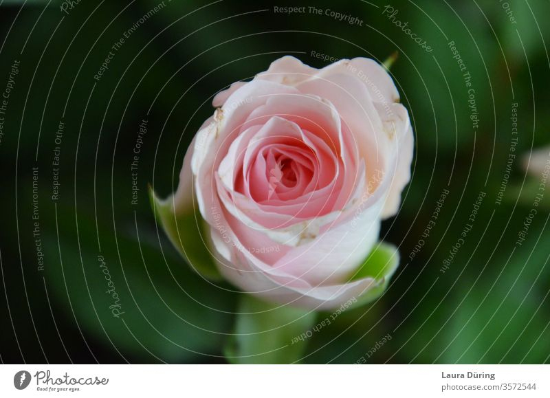 Rose blossom from above pink bleed flowers Pink Fragrance already Romance Love Nature Blossoming spring Summer Esthetic natural commemoration Greetings Release