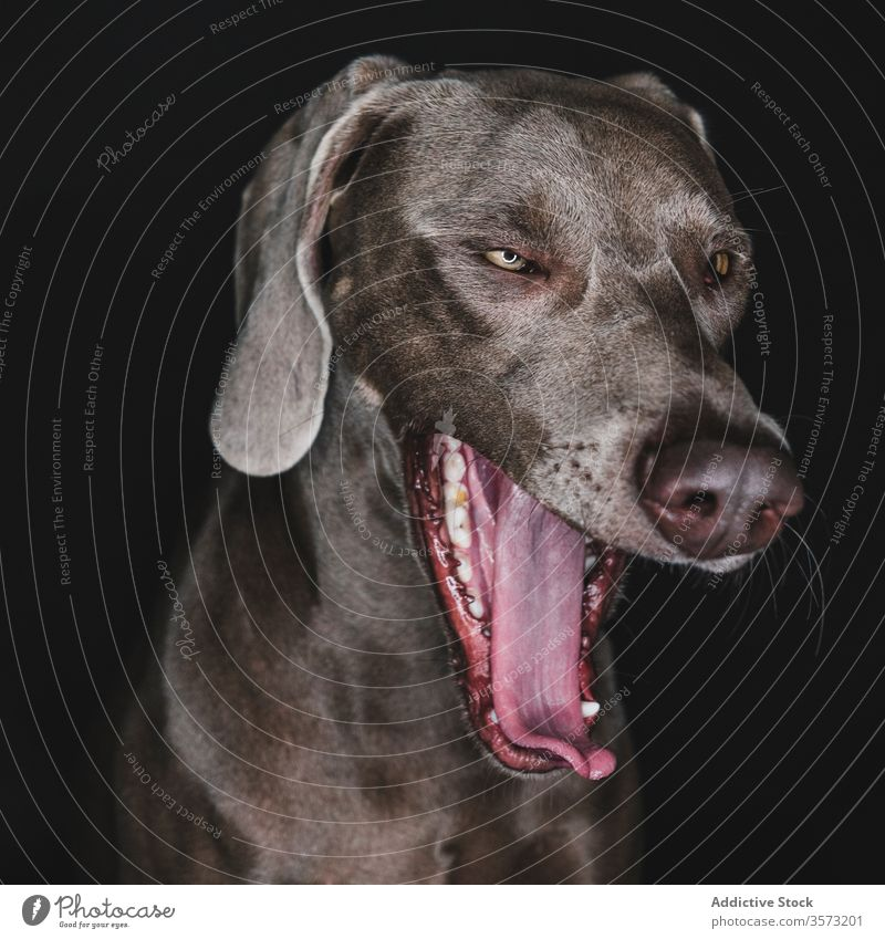 Funny Weimaraner dog on black background weimaraner breed purebred pet animal muzzle funny pedigree gundog stare canine domestic adorable loyal appearance