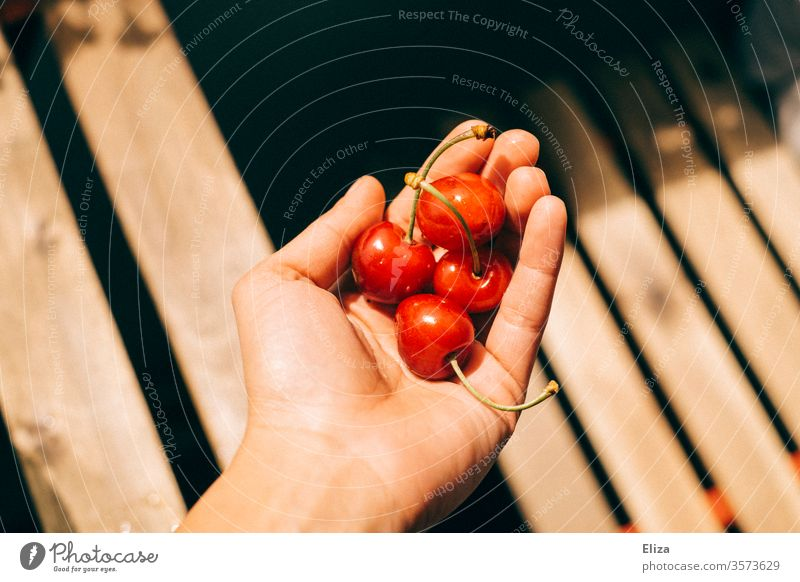 Four cherries in one hand in the sunlight Sunlight by hand stop Delicious Eating fruit Summer Nutrition Red Mature Stone fruit out warm wood Bright Contrast