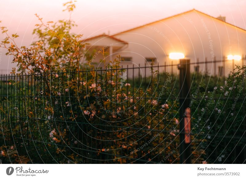 bush of roses at fence with illuminated house in the background green gardening petals pink beautiful blooming flower nobody nature plant color closeup outdoors