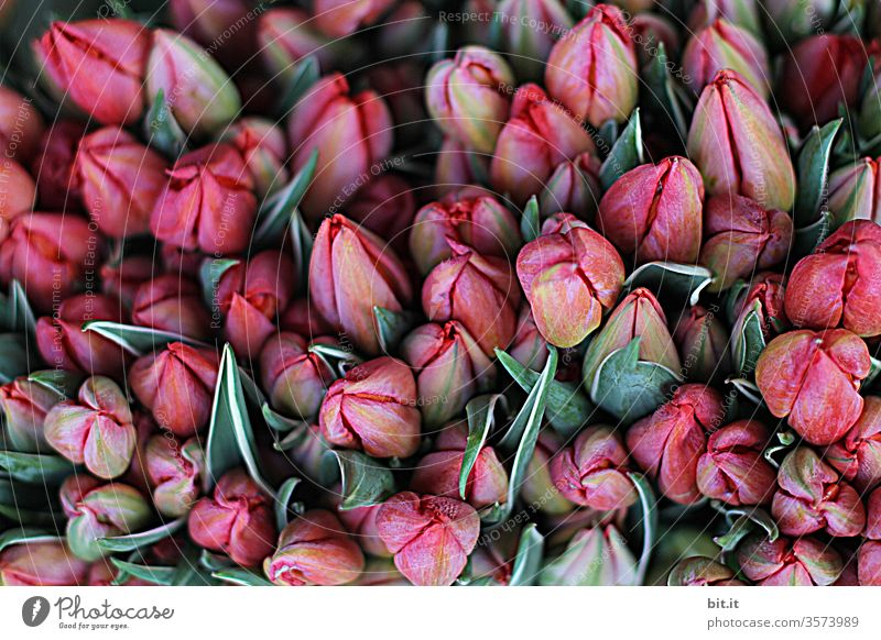 1900 I many, beautiful, closed, pink tulip flowers together with green petals on the market for sale Assortment of pretty, fresh tulips with flower heads, from above, in shades of red. Top view of decoration with tulpia at the florist.