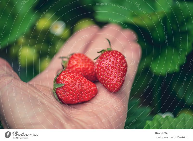 3 juicy tasty red strawberries in one hand in front of a green background Strawberry Time fruit tidbit already berry fruit fruit varieties Fruit cake yield