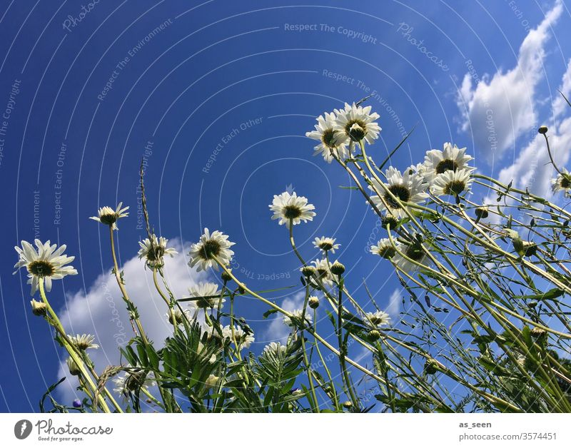 daisies flowers bleed Marguerite marguerites Summer Nature White Plant green Yellow spring Colour photo Meadow Exterior shot Blossoming Deserted Day Close-up